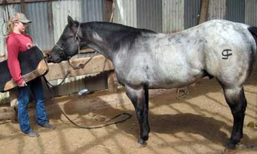 Claytons Blu Avenger ~ Blue Roan Quarter Horse Stallion Son of Romeo Blue