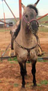 Grullo Quarter Horse Stallion Son of Romeo Blue