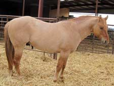 Claytons Five Oh ~ Quarter Horse Stallion Son of Romeo Blue