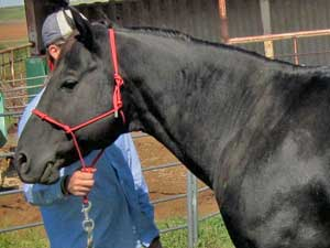 Claytons Tar Baby ~ Black Quarter Horse Stallion Son of Romeo Blue