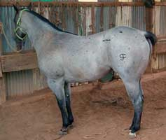 Quarter Horse Stallion RL Blue Valentine, Blue Roan Grandson of Romeo Blue and Blue Crusader in Randlett, Oklahoma