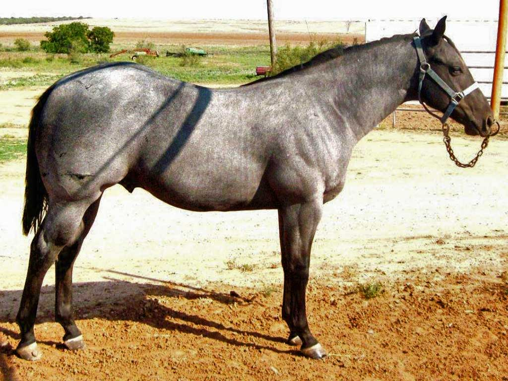 Strawberry Roan Quarter Horse - photo#12