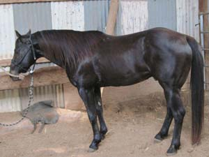 War Train ~ Last breeding son of War Concho ~ 21 plus % Driftwood, 17 plus % Joe Hancock ~ Smokey Black Homozygous for the black gene and carries the cream dilute gene